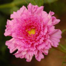Cosmos Double Click Rose Bon Bon