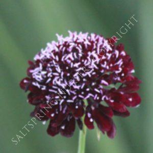 Scabiosa Black Knight Seeds