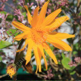 Arnica montana wildflower seeds