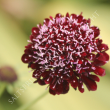 Scabiosa Black Knight