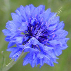 Jubilee Gem cornflower