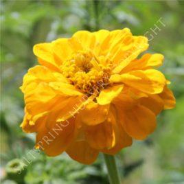 Giant Yellow Zinnia