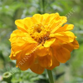 Giant Yellow Zinnia