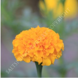 Crackerjack Marigold