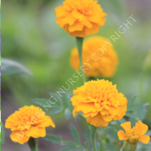 Marigold Minature Yellow