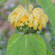 Phlomis flower seeds