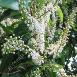 Prunus Lustitanica