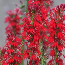Red Lobelia cardinalis