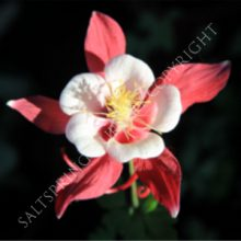Red Hobbit Columbine