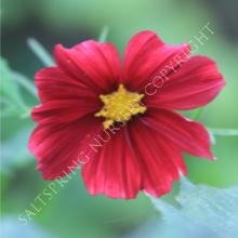 cosmos sulphureus rubenza seeds
