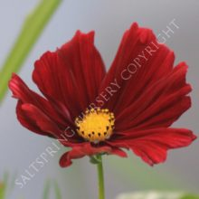 rubenza red cosmos