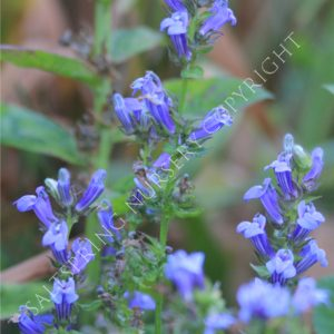 Great Blue Lobelia Seeds Saltspring Nursery
