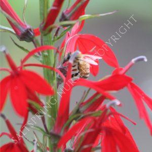 Cardina Flower