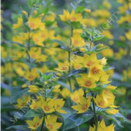 Yellow Loosestrife Lysimachia Seeds