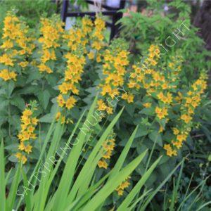 Yellow loose strife seeds saltspring nursery yellow loose strife mightylinksfo