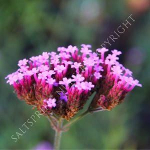 Verbena bonariensis Wildflower Seeds