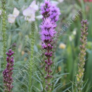 Blazing Star Purple
