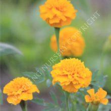dwarf marigold