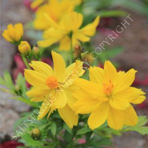 Cosmos limara lemon seeds saltspring nursery cosmos limara lemon seeds mightylinksfo