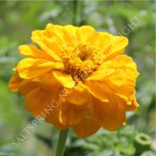 Zinnia Giant Yellow Seeds
