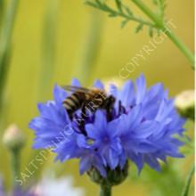 Cornflower Blue Boy Seeds