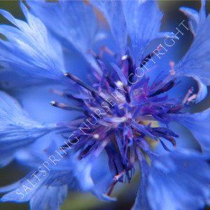 Cornflower 'Blue Boy' Seeds