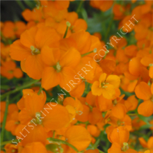 Orange Bedder Wallflower