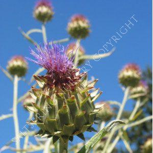 Cardoon flower