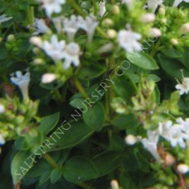 Ocimum basilicum Spicey Bush