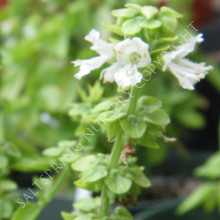 Spicey Bush Basil Annual Herb