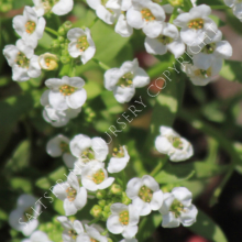 Sweet Alyssum Lobularia Seeds