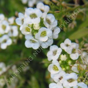 Sweet Alyssum Lobularia Seeds