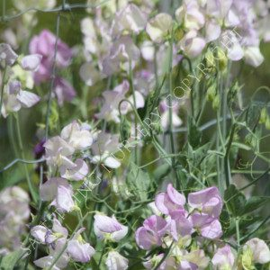 Lathyrus odoratus king's high scent