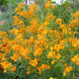 Orange Bedder Wallflower