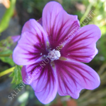 Malva Sylvestris Zebrina Heirloom