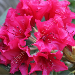 Very Best Rhododendron Care