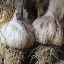 how to grow purple neck garlic