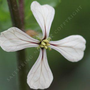 Arugula roquette Heirloom Seeds