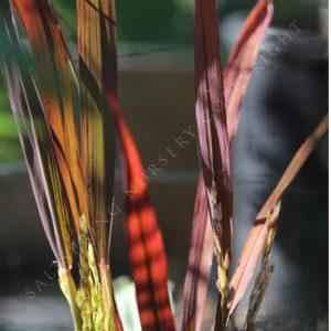 Ornamental Rice Grass