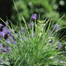 Koeleria 'Coolio' Grass Seeds