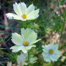Cosmos bipiinnatus Xanthos Seeds
