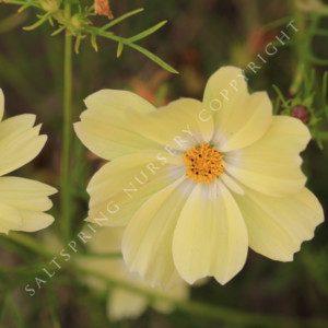Cosmos bipinnatus Xanthos Seeds