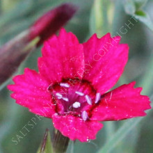 'Flashing Lights' Dianthus deltoids