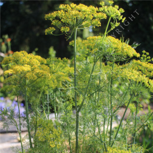 Dill 'Fernleaf' Seeds
