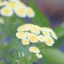 feverfew 'Magic Lime Green'