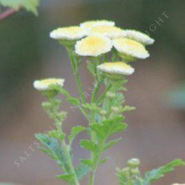 Tanacetum parthenium 'Magic Lime Green'