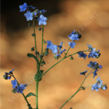 Forget Me Not Chinese Seeds