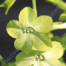 Nicotinia 'Lime Green'