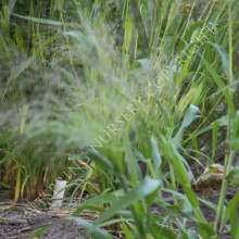 Panicum Frosted Explosion Seeds