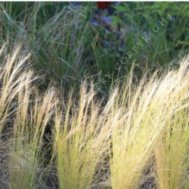 Mexican Feather Grass Seeds